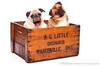 Pugs in a Box