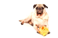 Pug and Toy