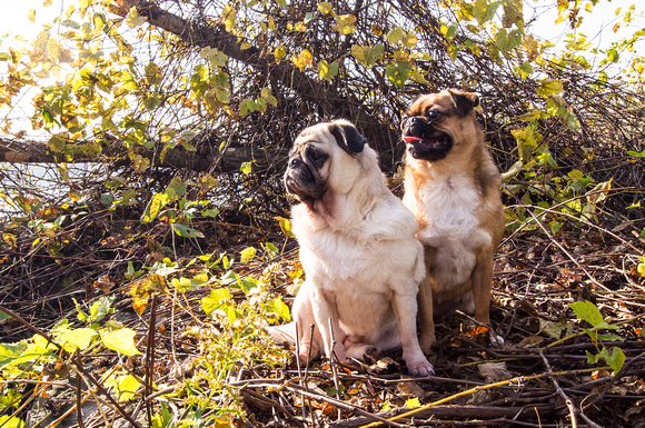 Two pugs posed in a park